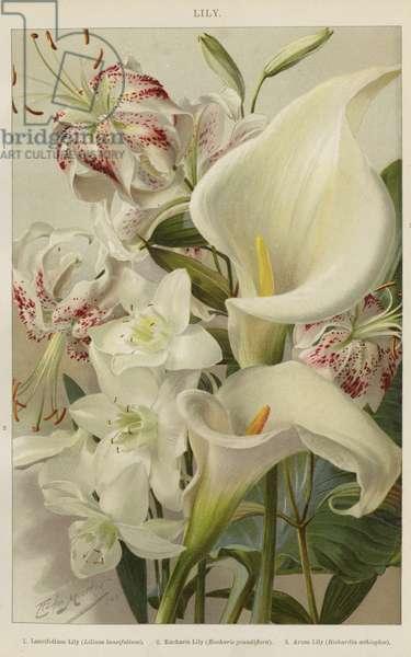 Lily (colour litho)