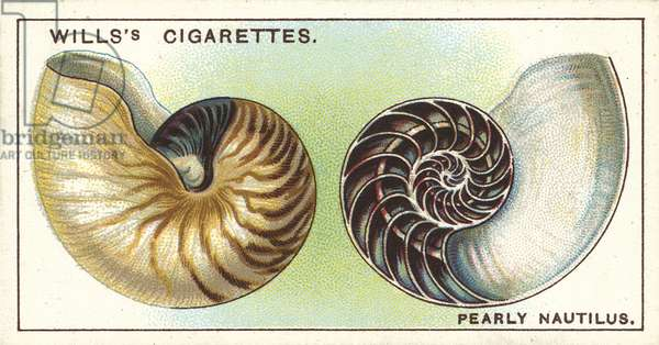 The Pearly Nautilus, the beautiful shell of which is often seen in Museums (chromolitho)