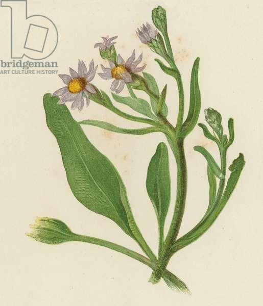 Michaelmas Daisy, Aster Tripolium (colour litho)