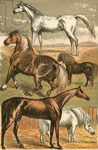 Arab Horse, Cart Horse, Race Horse, Shetland Pony and Pony