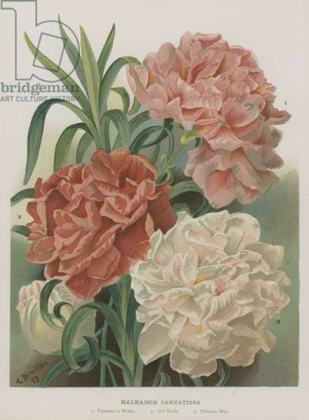 Malmaison Carnations (chromolitho)