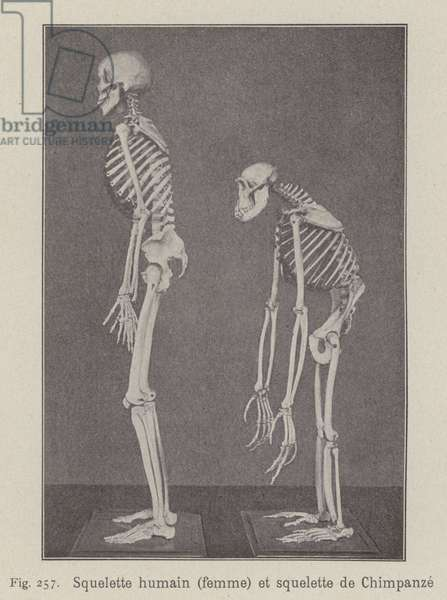 Skeletons of a human woman and a chimpanzee (litho)