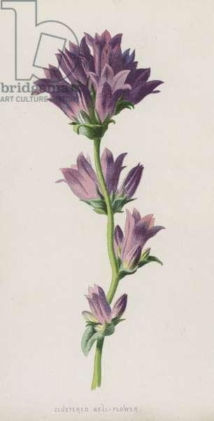 Clustered Bell-Flower (chromolitho)