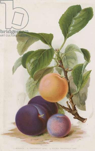 Plums (colour litho)