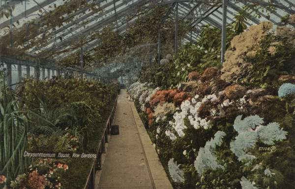 Chrysanthemum House, Kew Gardens (colour photo)