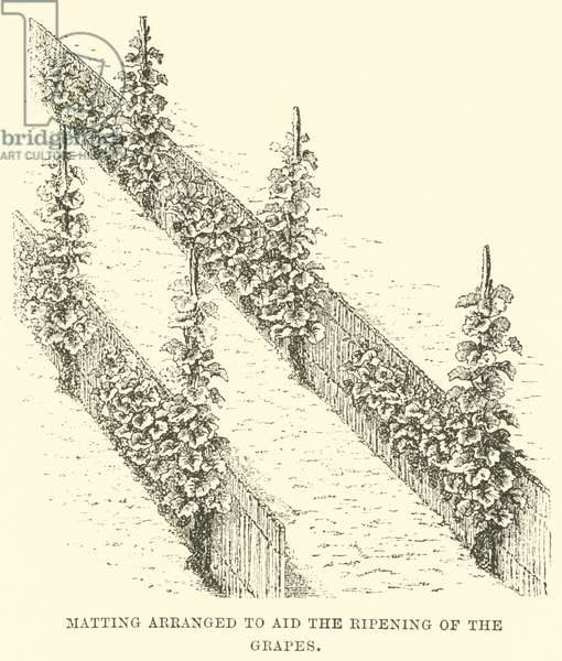 Matting Arranged to aid the Ripening of the Grapes (engraving)