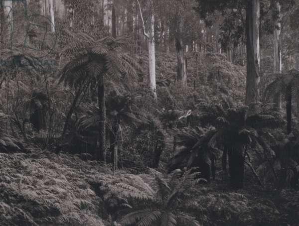 Nyora Gully, Healesville (b/w photo)