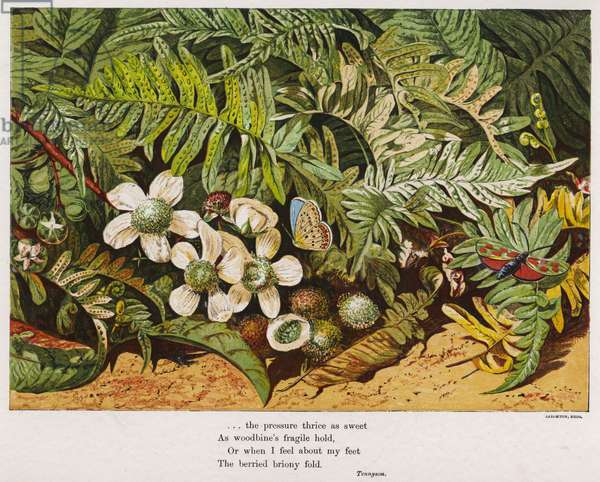 Butterflies, ferns and flowers (coloured engraving)