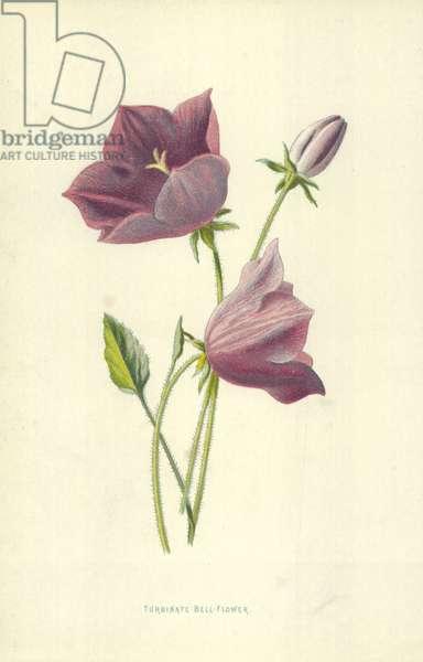 Turbinate Bell-Flower