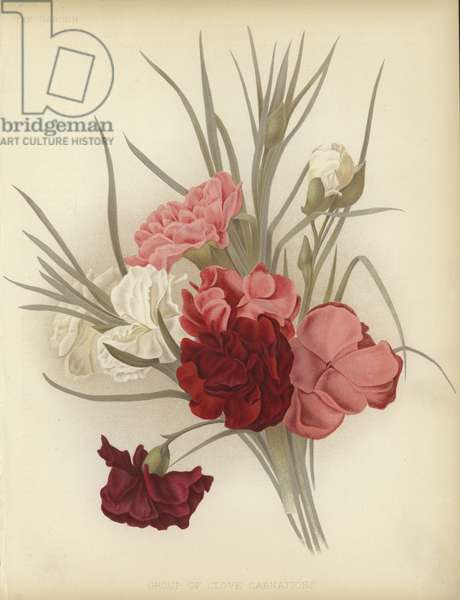 A group of Clove Carnations (colour litho)