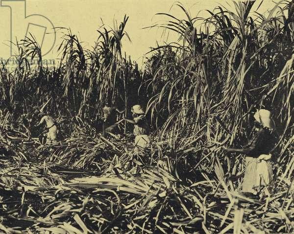Harvesting sugar cane by hand, Cuba (b/w photo)