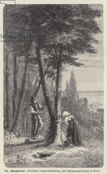 Manna-tree, Fraxinus ornus (Linnaeus), and Manna-gathering in Sicily (engraving)