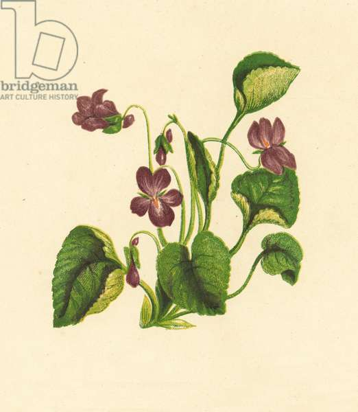 Sweet Violet, Viola Odorata (colour litho)