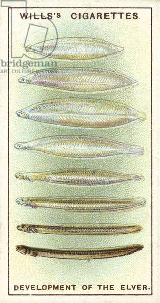 The Development of the Elver, one of Nature's mysteries which has only recently been solved (chromolitho)