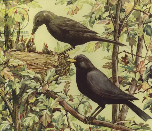 Bird's nest (colour litho)