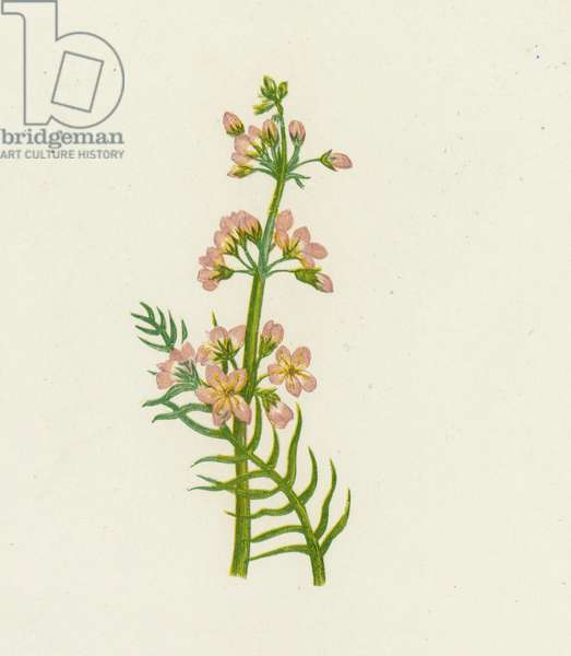 Water Violet, Hottonia Palustris (colour litho)