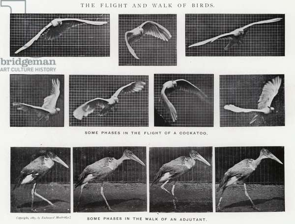 Eadweard Muybridge: The Flight and Walk of Birds (b/w photo)