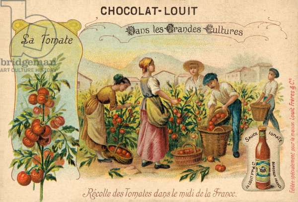 Harvesting tomatoes in the South of France (chromolitho)