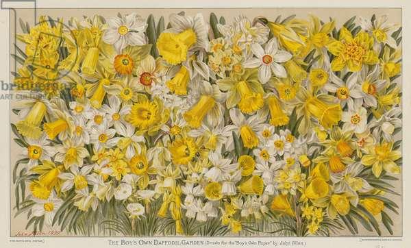 The Boy's Own Daffodil Garden (colour litho)