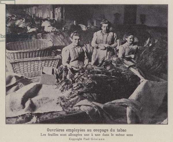 Women workers cutting tobacco leaves (b/w photo)