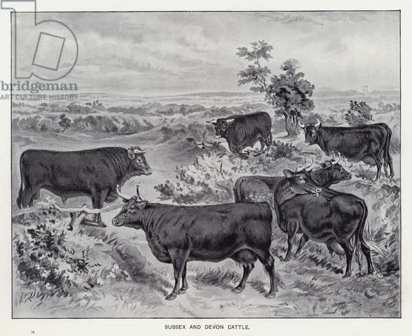 Sussex and Devon Cattle (litho)