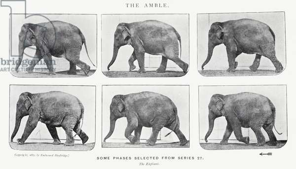 Eadweard Muybridge: The Amble (b/w photo)