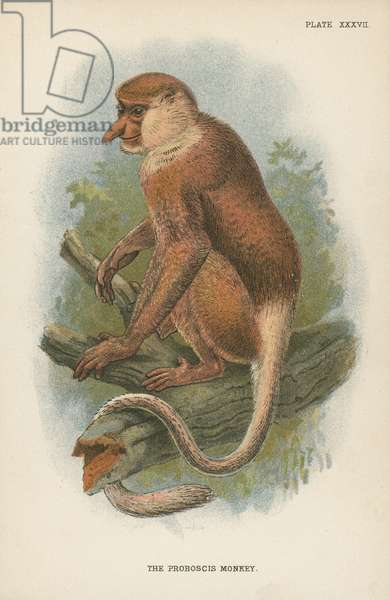 The Proboscis Monkey (colour litho)