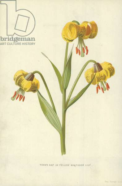 Turk's Cap or Yellow Martagon Lily
