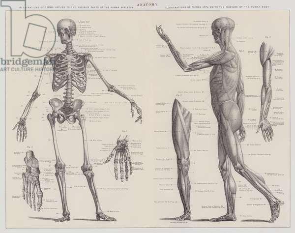 Anatomy (engraving)