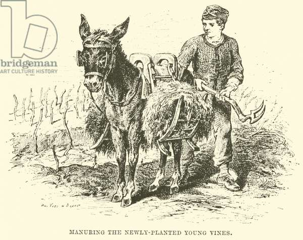 Manuring the Newly-Planted Young Vines (engraving)