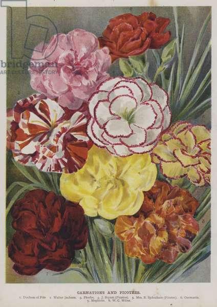 Carnations and Picotees (chromolitho)
