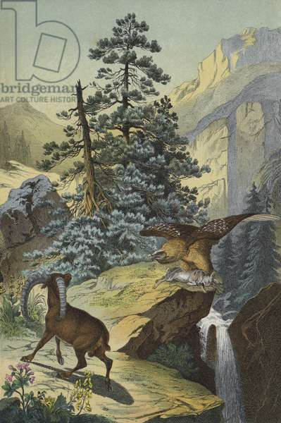 Animals and plants of the Alps (colour litho)