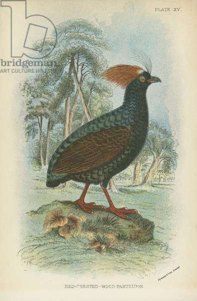 Red-Crested-Wood-Partridge