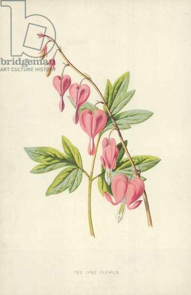 The Lyre Flower