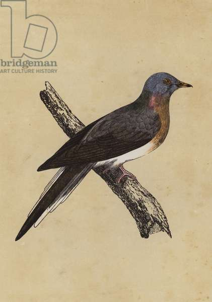Passenger Pigeon (colour litho)
