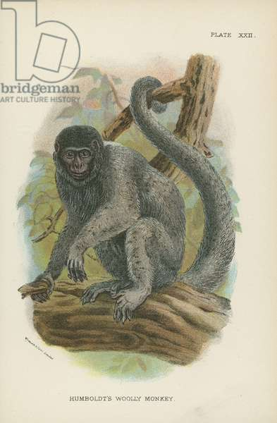 Humboldt's Woolly Monkey (colour litho)