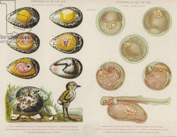 Development of  birds and fish from their eggs (chromolitho)