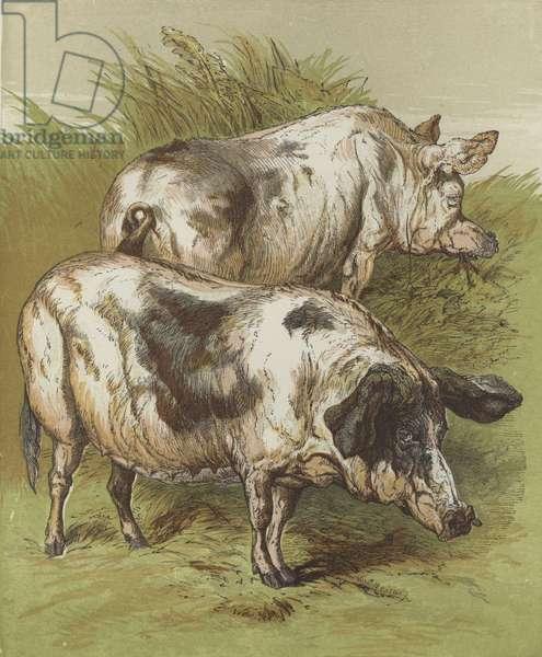 Pigs (colour litho)