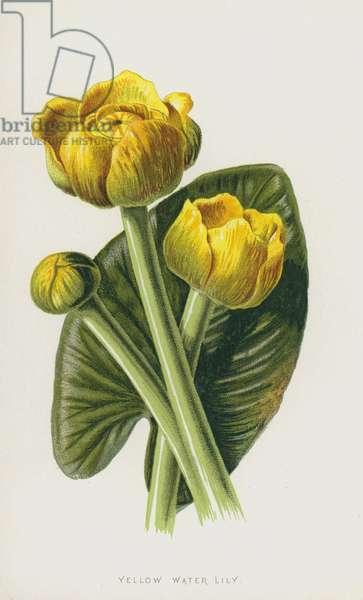 Yellow Water Lily (chromolitho)