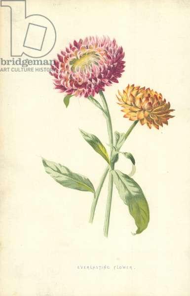 Everlasting Flower