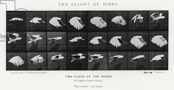 Eadweard Muybridge: The Flight of Birds (b/w photo)