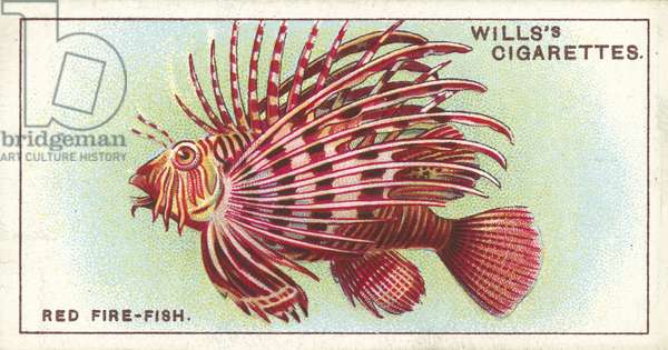 The Red Fire-Fish, an extraordinary inhabitant of tropical seas (chromolitho)