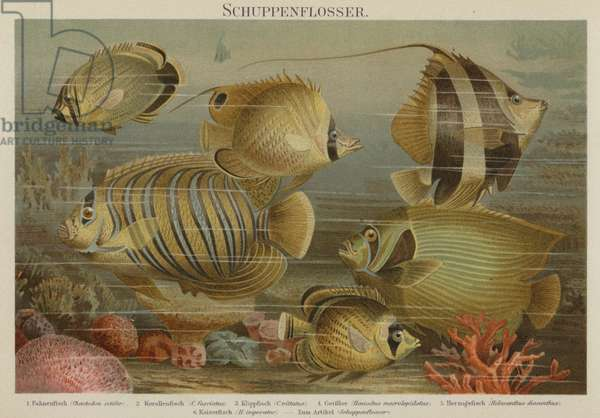 Tropical sea fish (colour litho)