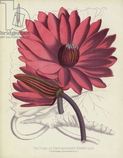 The Duke of Devonshire's Water Lily, Nymphaea Devoniensis (chromolitho)