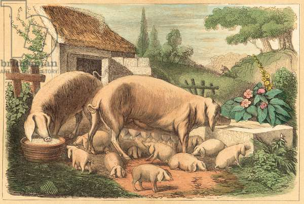 Pig (coloured engraving)