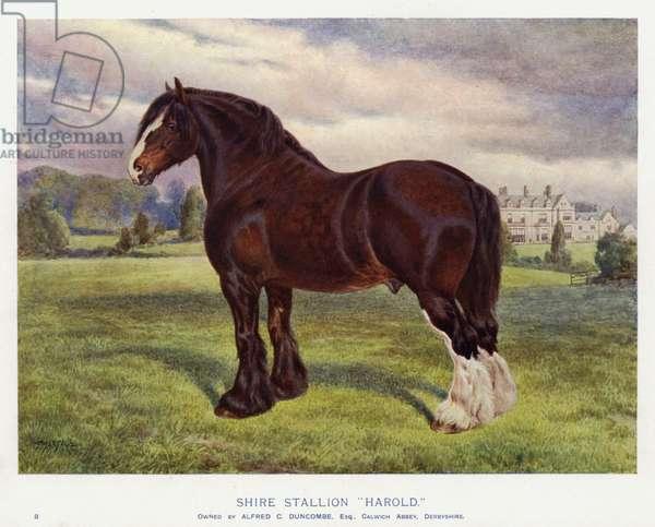 "Shire Stallion ""Harold"" (colour litho)"