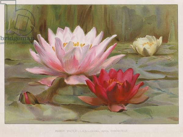 Hardy water lilies (colour litho)