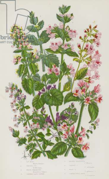 Flowering Plants of Great Britain: Cat Mint, Ground Ivy, White Horehound, Common Basil Thyme, Lesser Calaminth, Common Calaminth, Wood Calaminth, Common Wild Basil (colour litho)