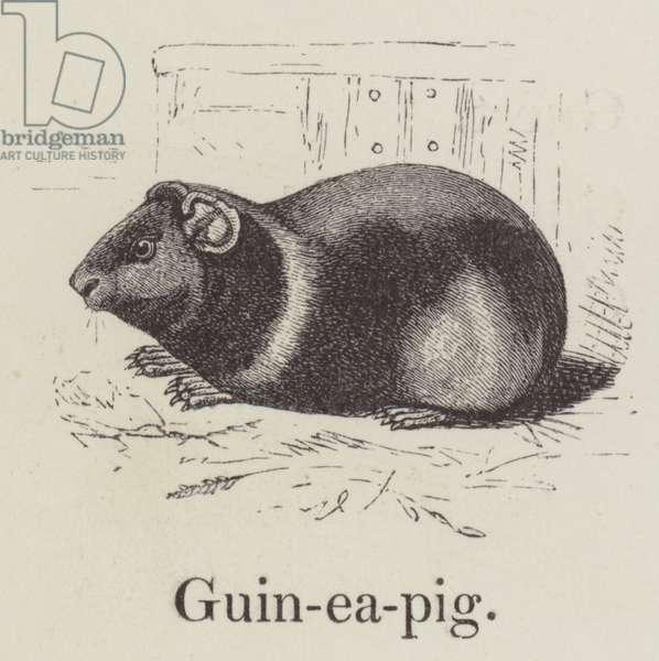 Guinea pig (engraving)