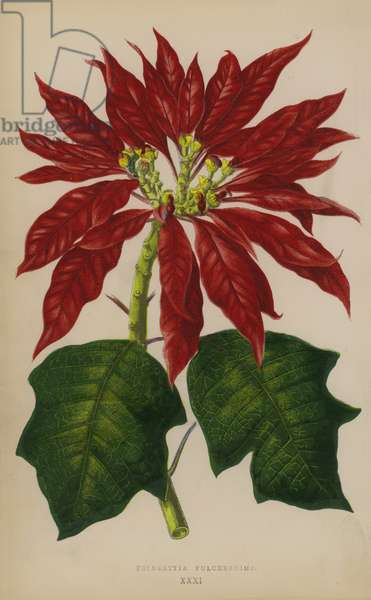 Poinsettia Pulcherrima (chromolitho)